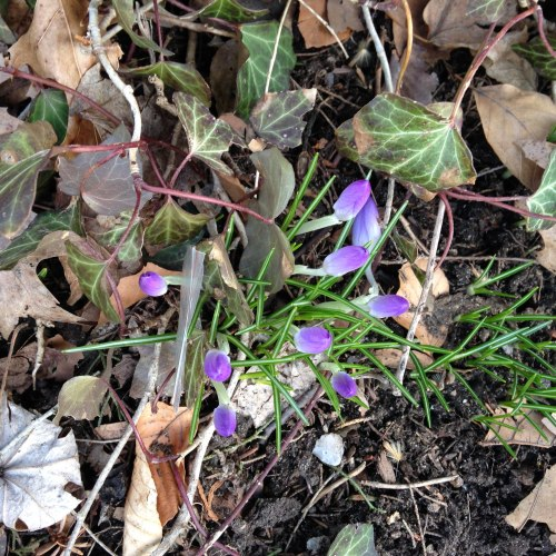 crocuses march 2019