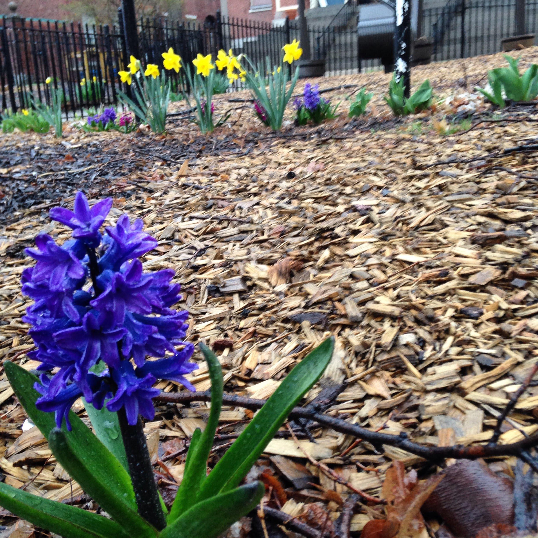hyacinth flower daffodils leaves plants