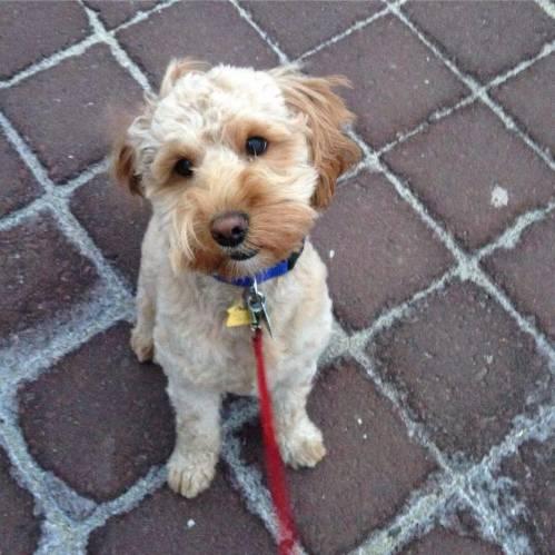 phoenix dog puppy