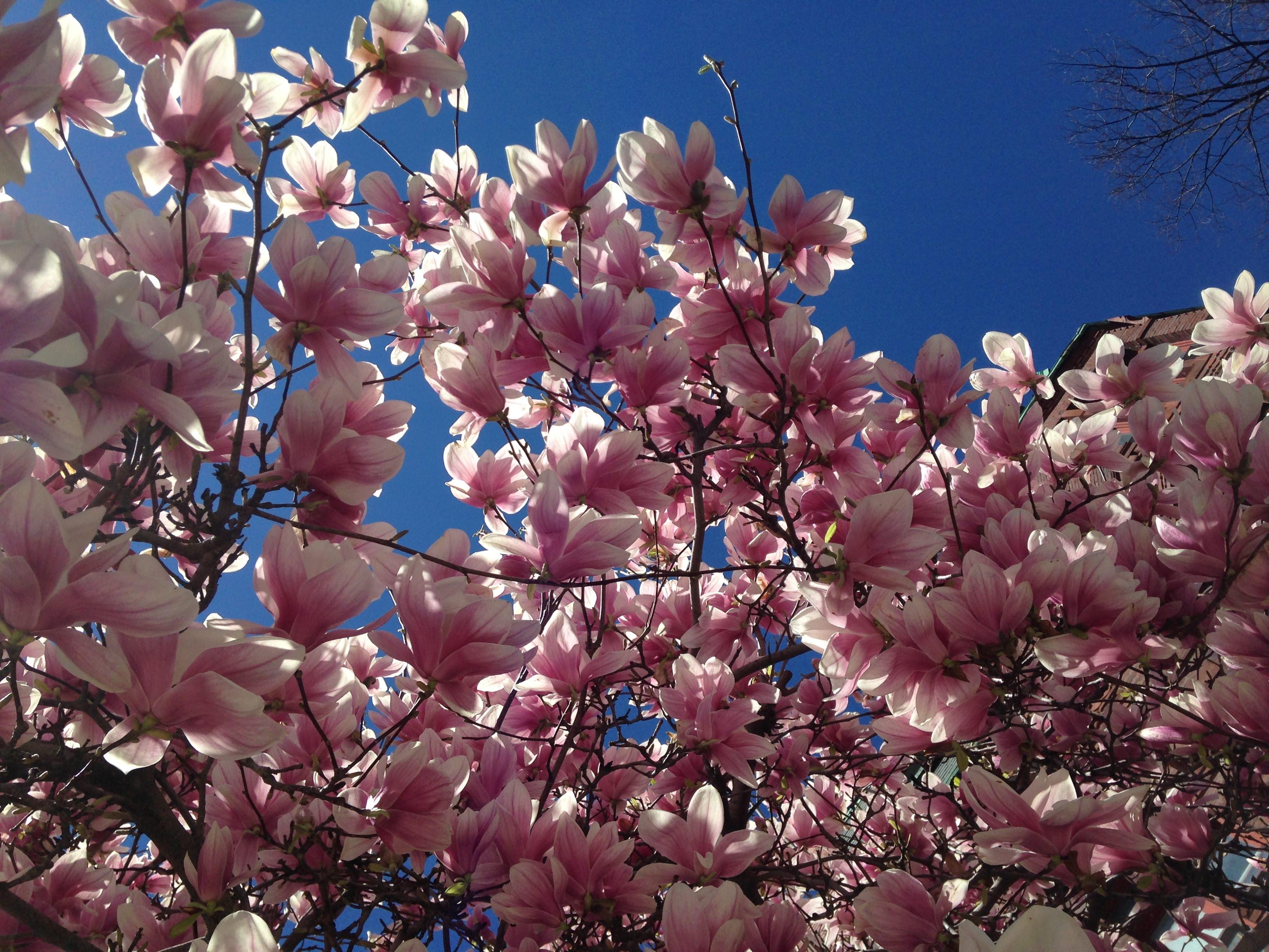 tulip magnolia tree bloom blue sky