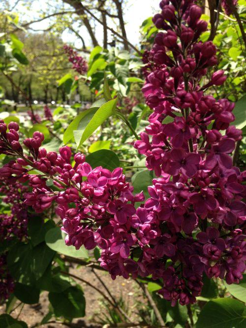 dark purple lilacs
