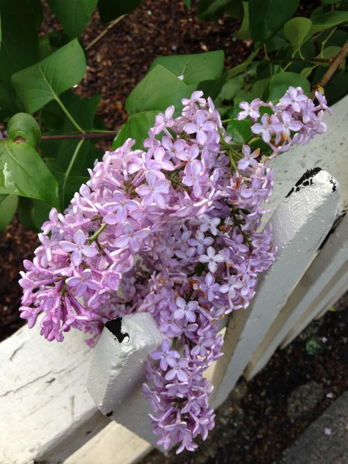 lilacs white fence