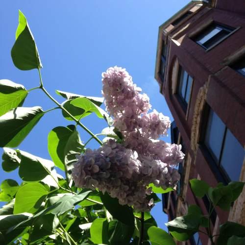 lilacs back bay blue sky