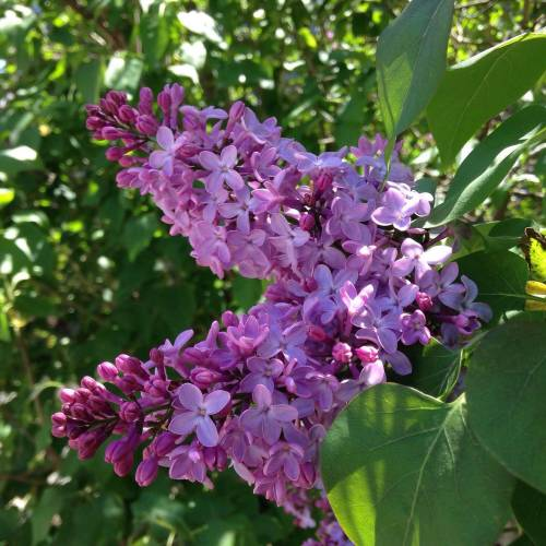 lilacs flowers bush