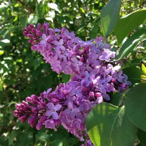 lilacs flowers bush