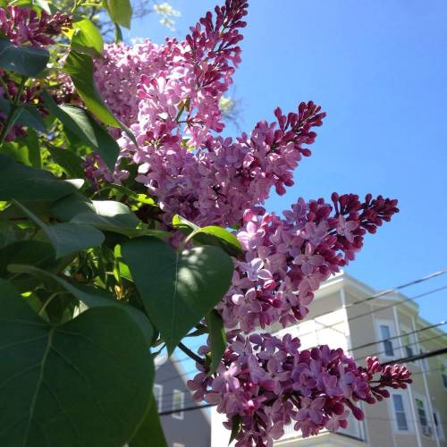 lilacs yellow house blue sky
