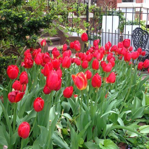 tulips red back bay garden