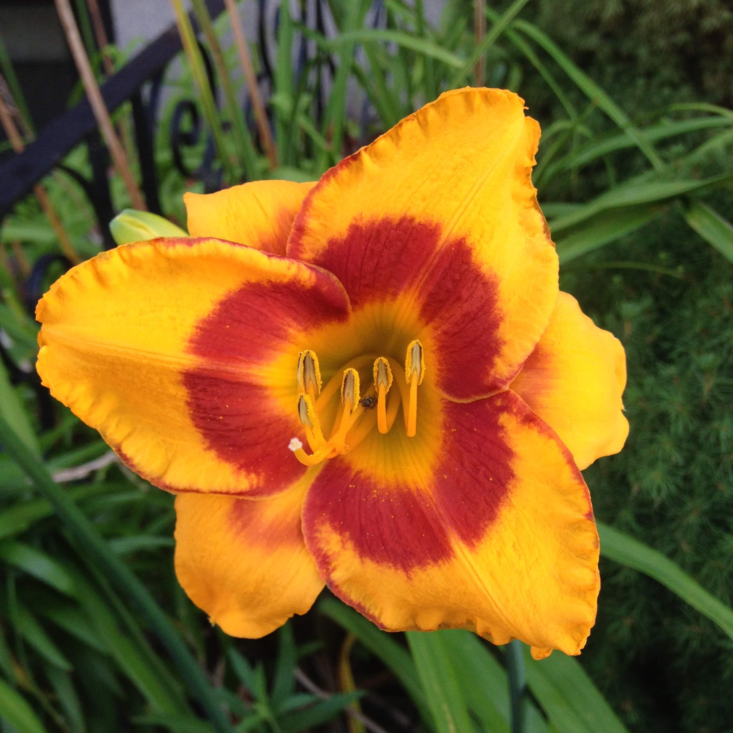gold-red-lily