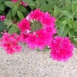 pink-flowers-eastie