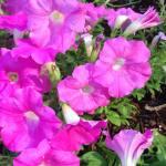 pink-petunias
