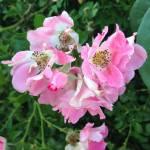 pink-roses-eastie