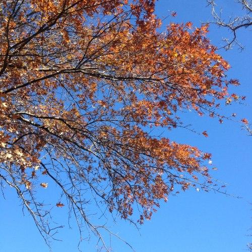 oak-leaves-esplanade