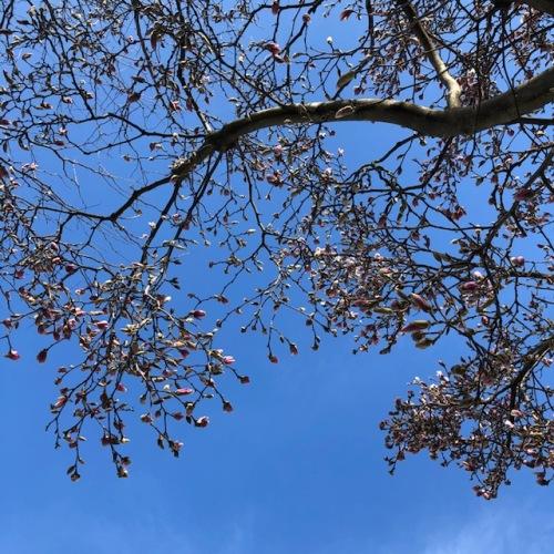 magnolia-april