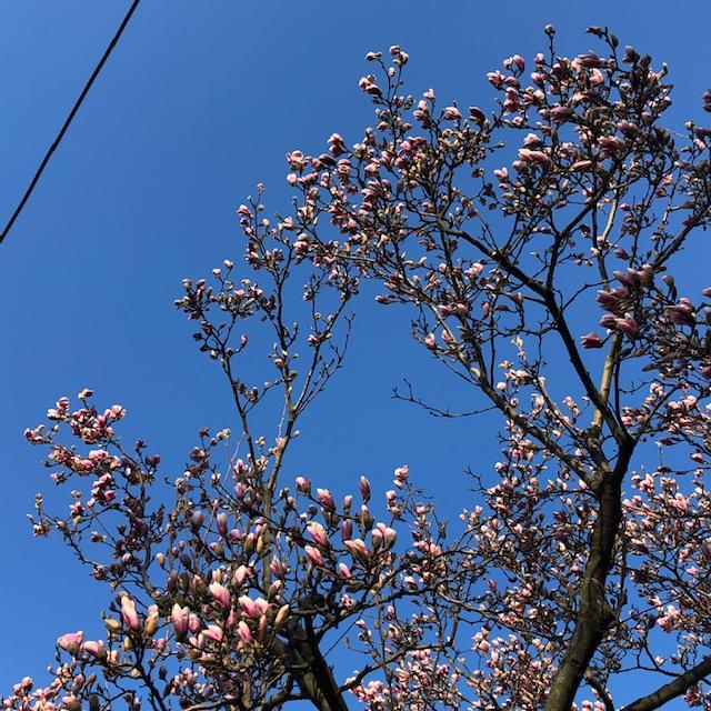 magnolia-eastie