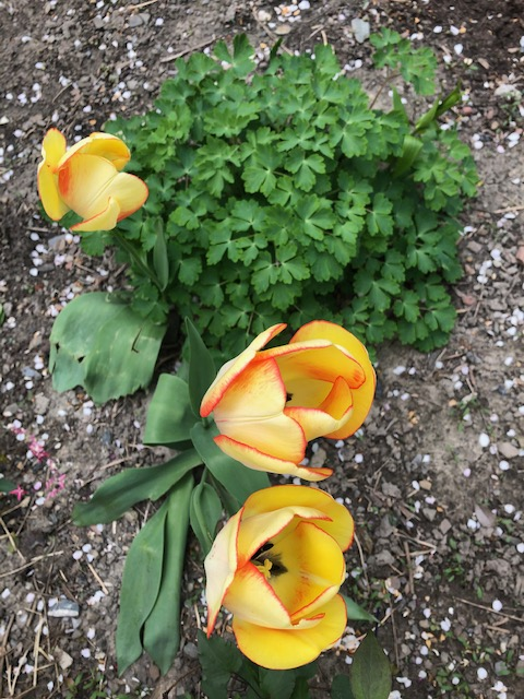 gold-tulips