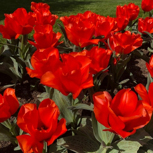 red-orange-tulips