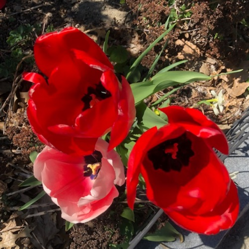 tulips-pink-red