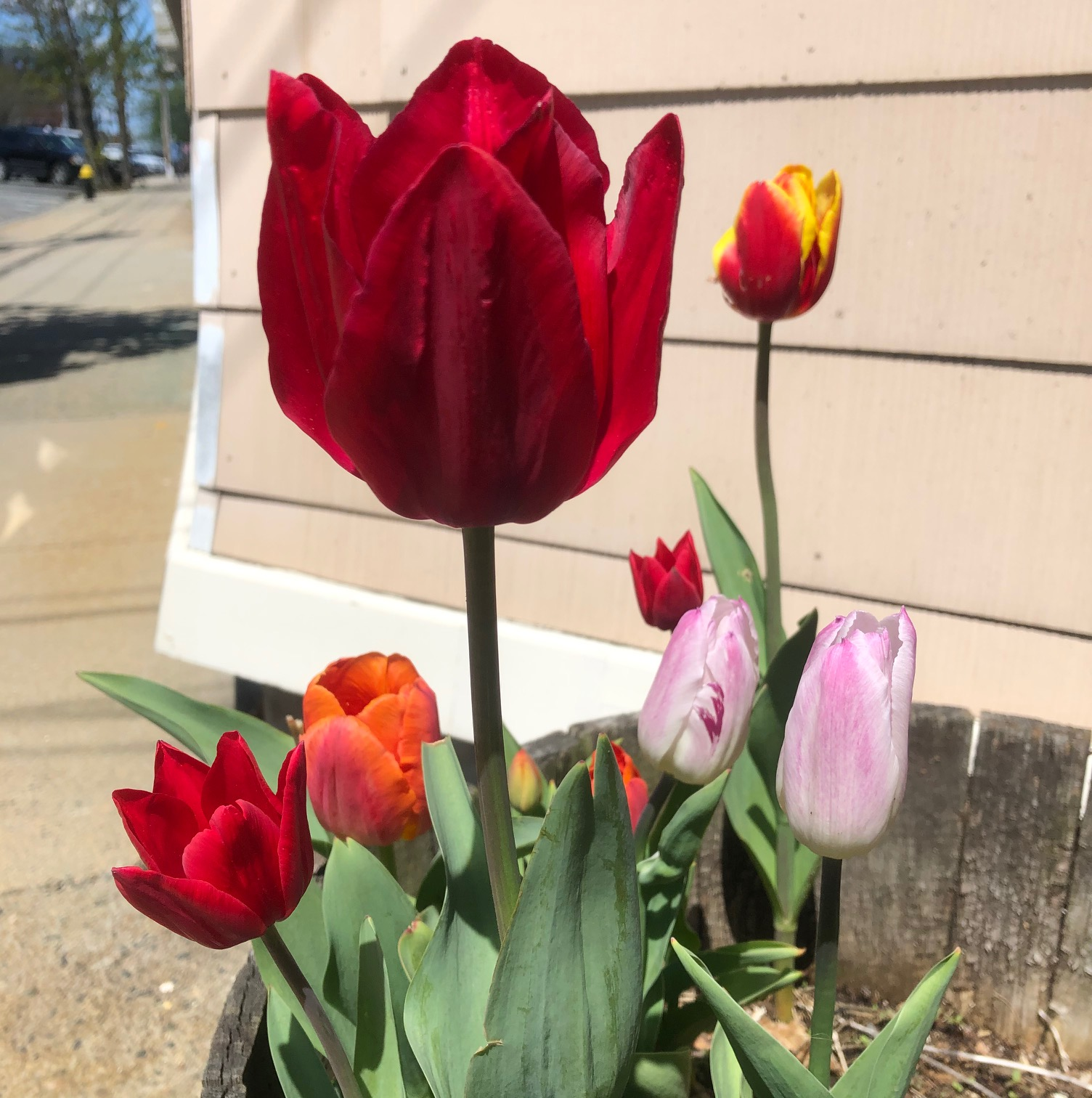tulips-pot-red